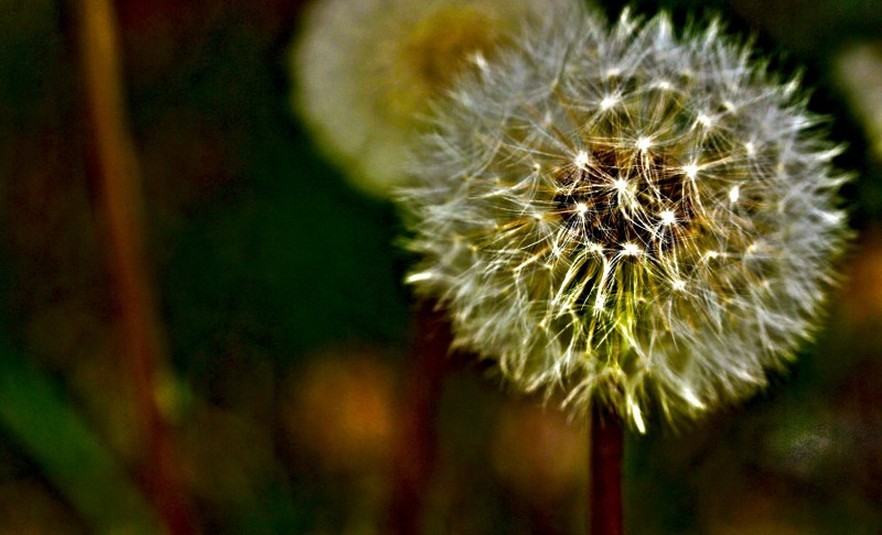 The seeds of Dandelion